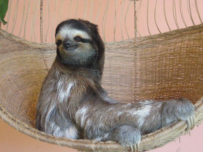 A Costa Rican sloth