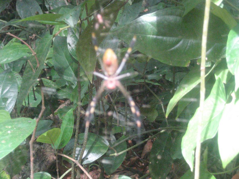 Spider in Costa Rica